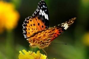 罗哈尼想描述的,真是一只初夏的蝴蝶:可尼的蝴蝶