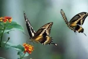 关于蝴蝶的一首欢快的曲子:蝴颜乱羽