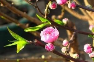 于一树桃花,给一壶女儿红,或弹或吟或醉:《いちご白書をもう一度--宮西希》