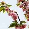 温暖的曲子-陶笛版本《樱花纷飞时》