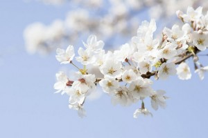 等待了一整个春天的樱《梦桜-Jusqu'à Grand-Père》