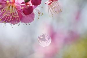 一寸春心早巳灰:《樱花落》