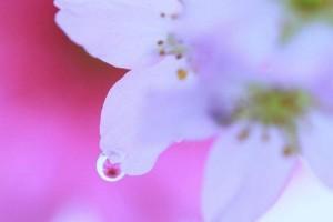 世间满樱花 - 桜舞い
