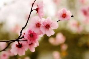 四月芳菲,正是樱花好时节:《桜》