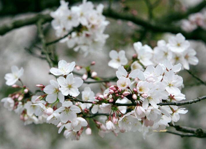 仿佛樱花满天飞舞:《樱花》