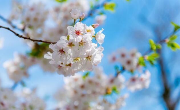《飞舞吧,樱花!》