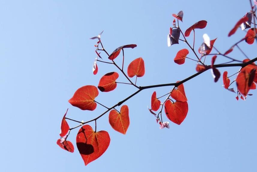 红叶漫天(红叶节主题)