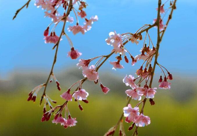 烟花三月,春未完:《樱花三月》